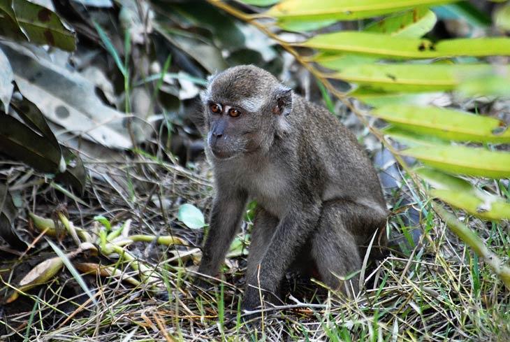 Зато обезьяны тут совершенно не наглые. Сидит себе скромно в лесу, не ближе, чем расстояние выстрела из плевательного ружья. А не нападает на зевак, обшаривая карманы и вырывая из рук еду, как делают их собратья в местах организованного туризма. Правда злоупотреблять доверием все же не стоит.