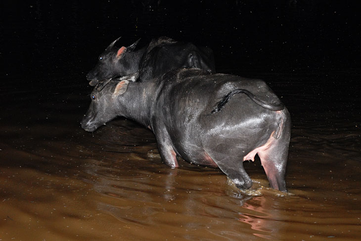 Нас тоже настигают полчища мошек и причина нахождения говядины в воде становится понятной. На суше насекомые могут просто обглодать заживо. Обруливая торчащие из воды рога уходим вверх по течению.