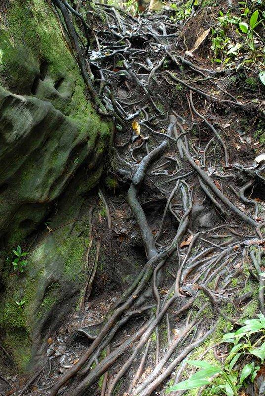 Иногда сплетения корней под ногами выполняют и полезную функцию. Вот тут вполне получилась лестница. Кстати все камни в лесу мокрые и склизко-скользкие.