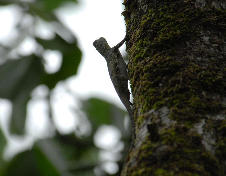 Эта ящерица умеет летать. Т.е. растопыривает перепонки, прыгает с дерева и летит себе к чертовой бабушке из этого колхоза. К сожалению снять в полете не удалось.