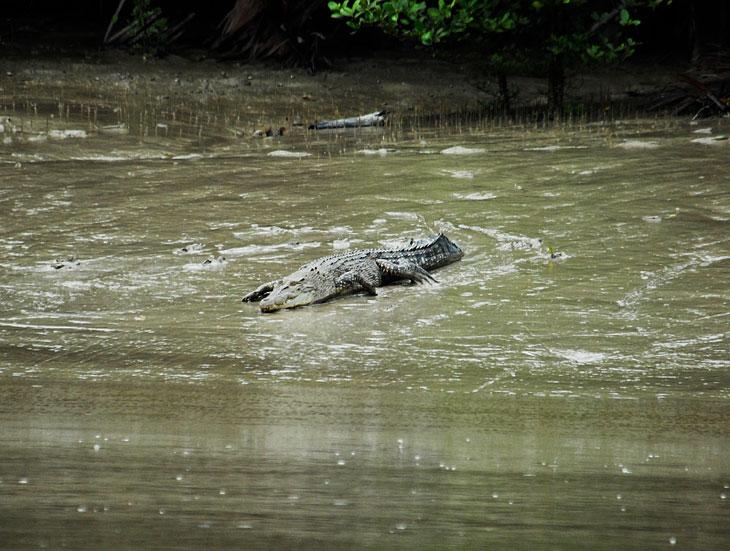 А вот крокодилы наоборот, фотографироваться категорически не хотят. При нашем приближении быстро удирают в воду. Места для купания тут веселые.