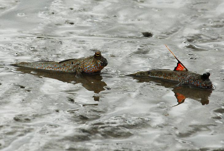 Потом оказалось, что эти неправильные жабоглазые рыбы бегают на двух передних плавниках.
