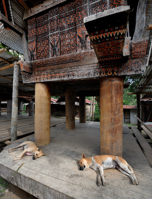 В отличие от севера Сулавеси, собаки тут не составляют основу мясного рациона. В пищу чаще идут более привычные нам чушки и прочие курицы. Быков выращивают для ритуальных жертвоприношений.