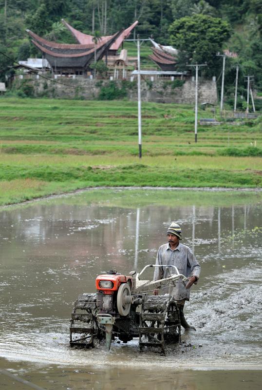 Продвинутые земледельцы месят грязь рисовых полей с помощью механизмов. Пахать с помощью буйволов нельзя — рогатый скот нужен лишь для похоронных церемоний.