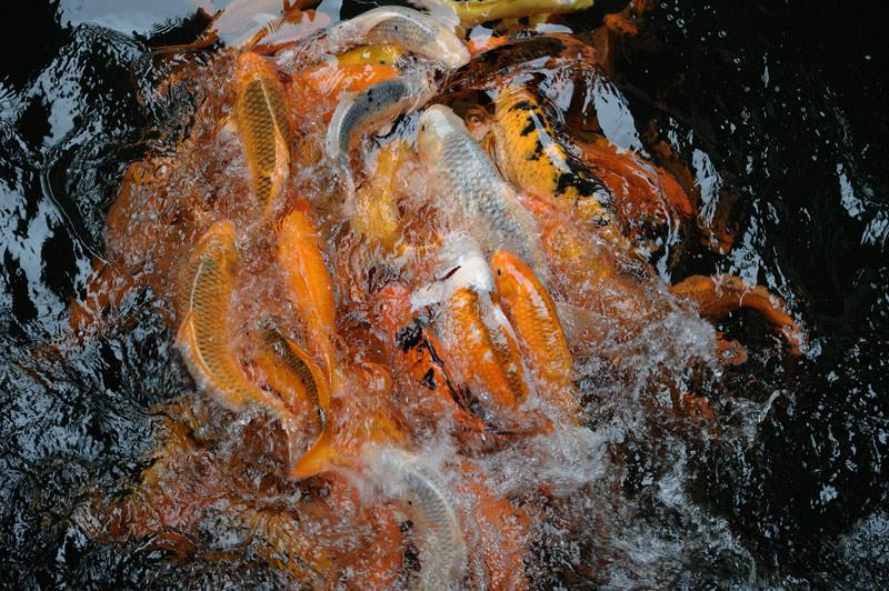 Бросившихся в мутные воды озера тут же пожирают голодные карпы.