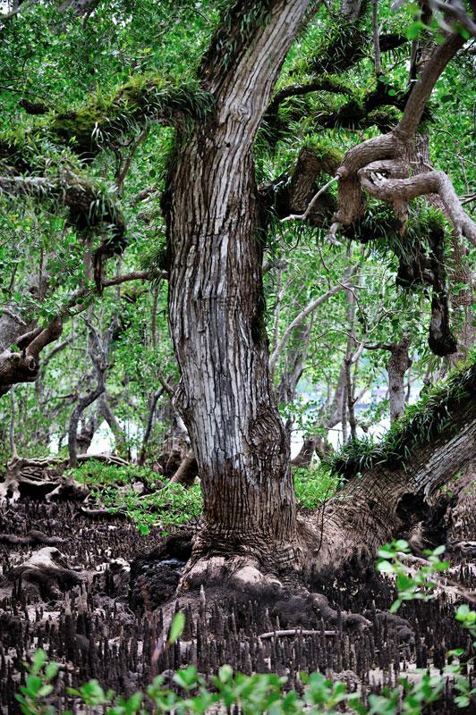 Во время отлива дно ощетинивается торчащими вверх корнями.