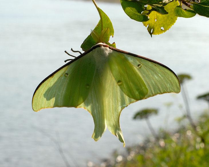 В этот раз порадовали насекомые. Помимо бульдозероподобных майских жуков, в воздухе носились и вот такие бабочки размером с ладонь.