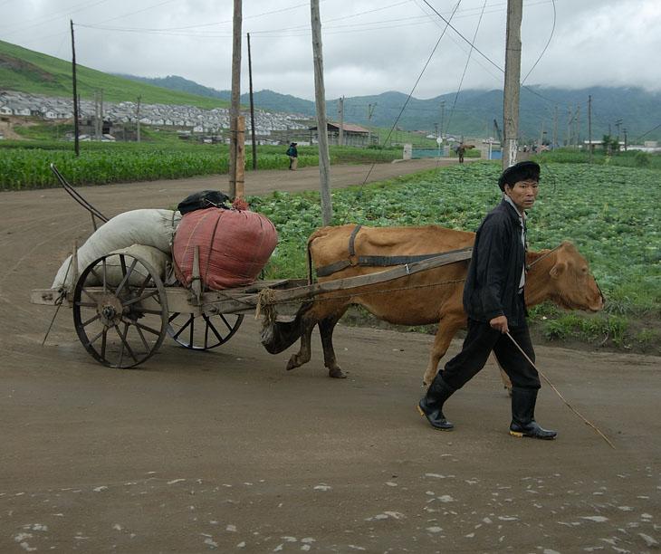 Первое знакомство с городскими пейзажами. Дороги грунтовые и, похоже, больше рассчитаны на борьбу с транспортом вероятных оккупантов, чем на передвижение по ним в мирное время. Основной грузовой транспорт — это вот такие коровы (быки). Иногда их как трамваи цепляют «паровозиком» и один водитель управляет составом из двух повозок с говяжьей тягой.
