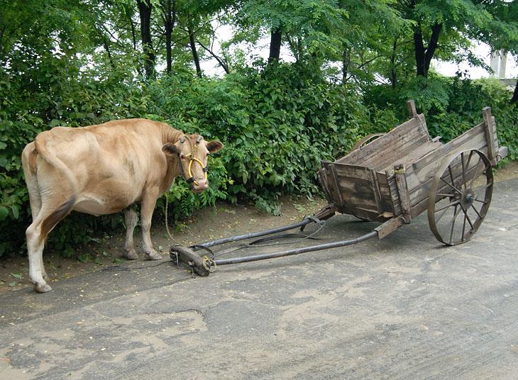 Очередная корова. Асфальтовая дорога проходит мимо образцово-показательного колхоза, на экскурсию в который нас и возили.