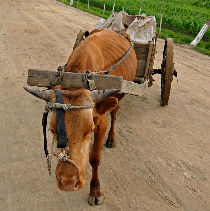 Кстати, на повозках и на самих коровах нет номерных знаков (например, все велосипеды с государственными регистрационными номерами). Только клеймо на рогах.