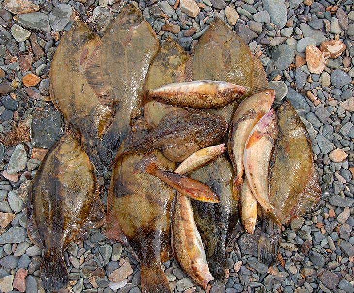 На обед наколупали крупной камбалы. Ну и волосатую рогатку (Hemitripteridae, на фото пузатая в центре) с прочей нечистью для ухи.
