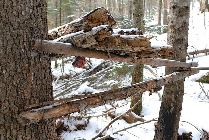 В окрестных лесах какие-то одичавшие местные жители промышляют закапканиванием мелкой живности. Судя по большому куску мяса, эта мышеловка предназначена для ловли какого-то хищного существа. Возможно саблезубого дятла, которые еще               встречаются в пещерах Ливадийского хребта.