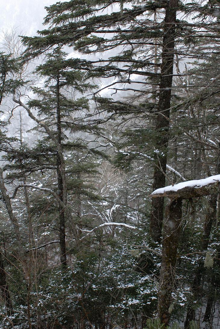 Естественно, что как только я вышел на прогулку, незамедлительно начался снег. Ничего больше не остается, как снимать елки в снегу. Мне вообще больше ничего не остается снимать, поскольку увязавшаяся за мной от подножия собака,               зачем-то разогнала даже пасшихся на хребте жирных зайцев. В конце концов сожрав одного из них.