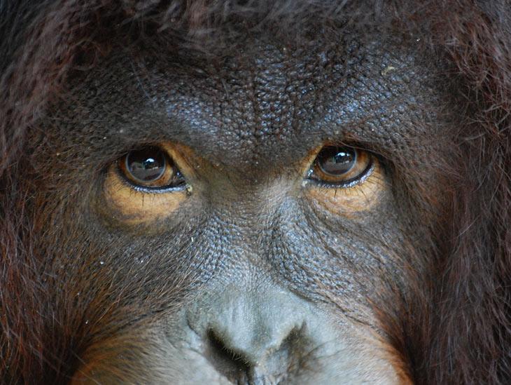 Это морда орангутанга. Точнее орангутанихи. В тот день зверушка оказалась достаточно общительна и соизволила показать личико. В               другой же раз, мы битый час просидели в засаде перед бамбуковой платформой с бананами и прочими вкусностями, ожидая прихода               орангутангов. Шел дождь, зловредные орангутанги наплевательски отнеслись к завтраку, да так и не пришли. Мокрый, как жабий пенис, с               тоскою взирал я на великолепную приманку, антуражем достойную самого Кинг Конга (кстати фильм про него снимался тоже на Борнео). Но               увы. Расколбас в дикой природе это вам не зоопарк. Объект съемки может запросто залупиться и не показать из зарослей даже своей               задницы. А если и показывает, то на такой дистанции, что задницу от гололвы в бинокль не отличишь.