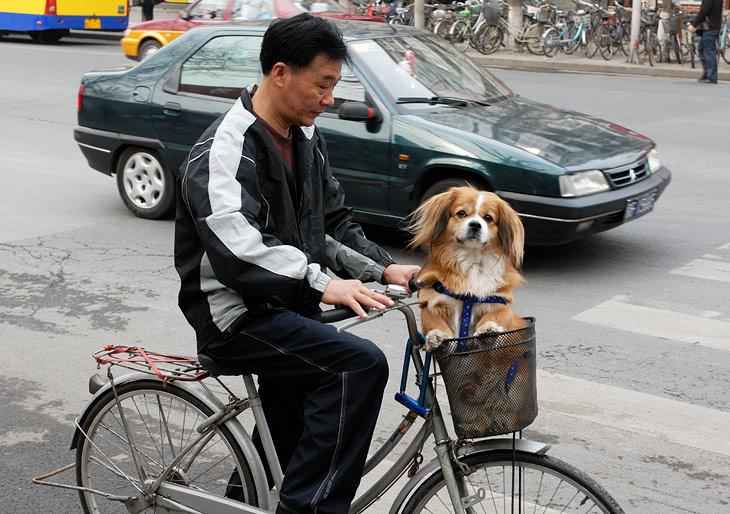 Больших собак в Китае держать запрещено. Поэтому любители данных животных выгуливают вот таких мелких мохнатых существ.