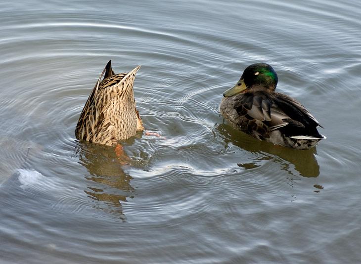 Утка по-пекински. Отдельная тема это животные в мегаполисе. В огромном городе очень мало голубей. На поверхности прудов и каналов плещутся обнаглевшие дикие утки. В пригородах появляются вороны. Недостаток птиц компенсируется               изобилием рыб. В каждой банке с водой сидит какой-нибудь пучеглазый карп.