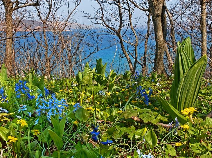 Правда, по дороге зарулили на остров Клыкова, поохотиться на черемшу. На этом, более теплом, клочке суши наблюдалось бурное               цветение всяческих представителей приморской флоры. Не удержался и запечатлел яркую зелень весенней ботаники. Лес полностью укрыт               густым цветочным ковром, что несколько радует нашей холодной весной.