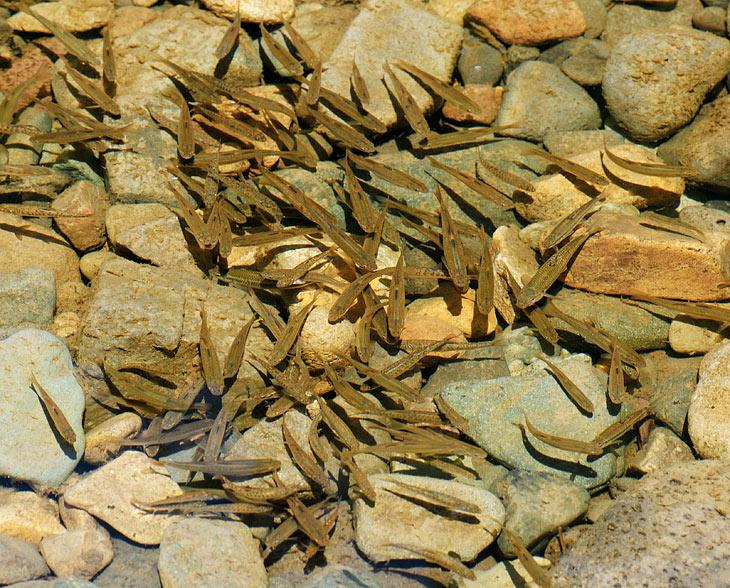 В прозрачной, как слеза налогового инспектора, воде носятся стаи биомассы. Привыкнув кормить морских рыб булочками, я с удивлением               обнаружил, что вот этим речным мерзавцам нужно бросать в воду лишь жирных зеленых гусениц. На хлеб же наглые рыбьи морды никак не               реагировали. Да и по пожираемым насекомым также наблюдался весьма избирательный аппетит. В этот день сие меню в полной мере касалось и               хариуса с ленком.