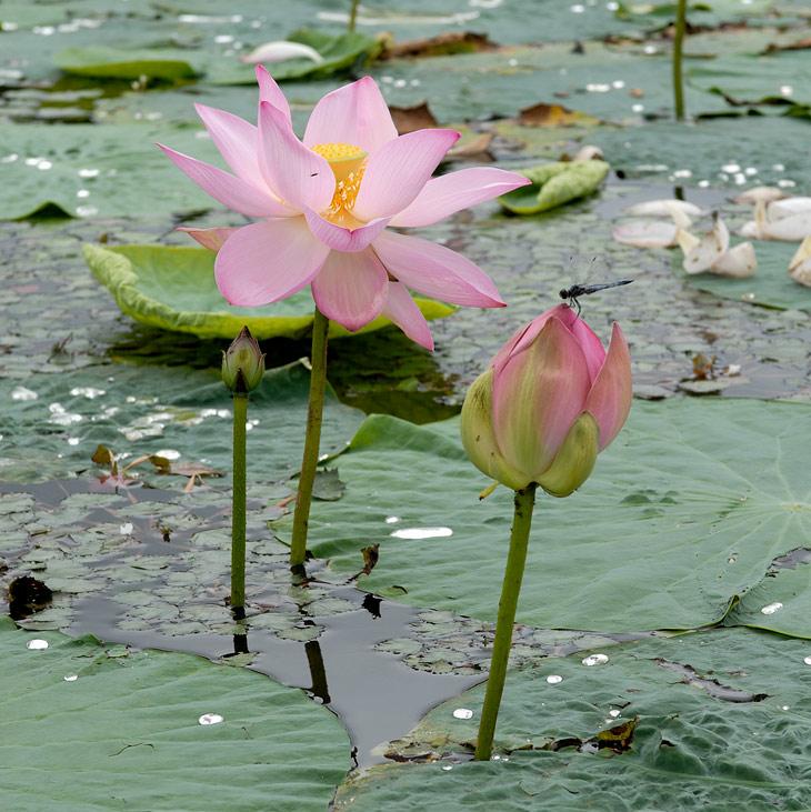 Скромно торчащие из воды лотосы пожалуй не способны чем-то впечатлить мою, избалованную видом и ароматом всяческих раффлезий, персону.               Но уж, что недалече растет, на то и смотрим. Не бесцветье и одуванчик - тюльпан.