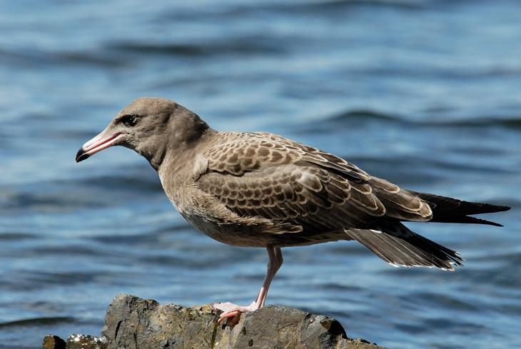 А про этого саблезубого дятла, постоянно скандалящего с обычными черно-белыми чайками, я сейчас пойду выяснять у юных натуралистов.