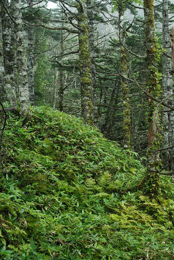 Царство бамбука и елок придает сказочный вид мохнатым сопкам, укутанным туманом и поливаемым частыми дождями.