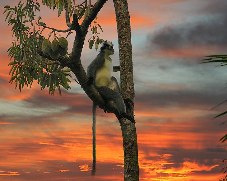 Букит Лаванг - небольшая деревушка в восьмидесяти километрах от Медана. Знаменит заповедником с пешими маршрутами, в котором               можно наблюдать орангутанов в естественной среде обитания. И тем, что в 2003 году Букит Лаванг был полностью смыт наводнением,               вследствие прошедших проливных дождей. Погибло полторы сотни человек, в том числе и иностранные туристы. Несмотря на сей факт, Букит               Лавангский национальный парк (Gunung Leuser National Park) - место с наибольшей концентрацией праздно шатающихся иностранцев в Северной               Суматре. Иных достопримечательностей, кроме джунглей, обезьян, да мусульманской молодежной дискотеки по выходным, тут нет.