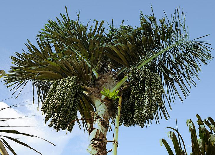 Из этой пальмы добывают коричневый пальмовый сахар. Судя по постоянно привязанной к пальме лестнице, дойка пальмы процесс весьма               затратный по времени и усилиям, посему сахар с пальм и не получил широкого кулинарного распространения. Сок выпаривают, а конечный               продукт впаривают покупателям как страшно полезный. Ну ясно же, раз неочищенный - значит