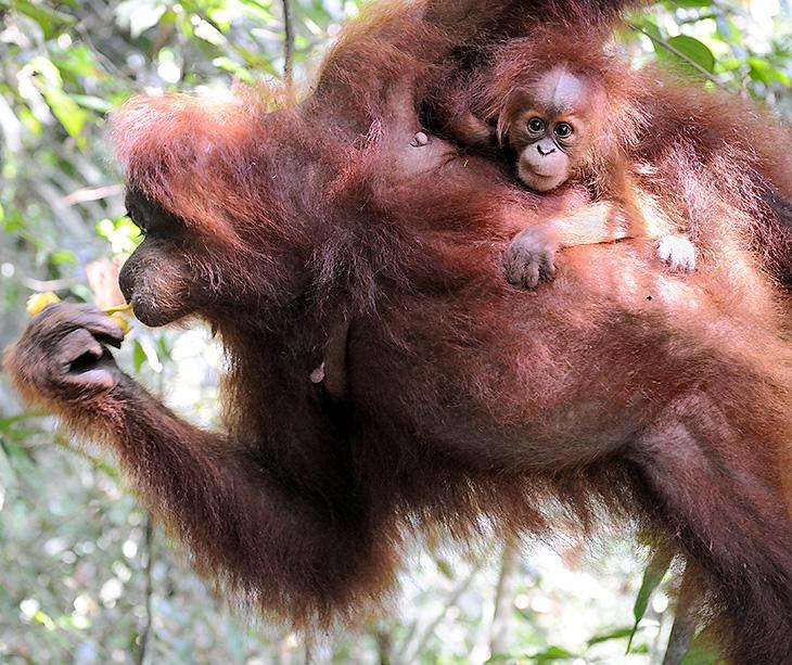 Прошлые безуспешные попытки пофотографировать орангутанов были предприняты нами на Борнео. В одном случае, мы битый час просидели в джунглях под дождем, ожидая прихода обезьян к прикормленному месту. Красивый антураж напоминал               кадры из фильма про Кинг-Конга. Толстые, симметрично свисающие лианы, бревенчатая платформа... Но, то ли не хватало привязанной на платформе девственницы-блондинки, то ли орангутаны не идиоты, чтобы шляться по лесам в дождь, но ничего,               кроме мокрого леса, мы в том заповеднике (центр реабилитации орангутанов) не обнаружили.