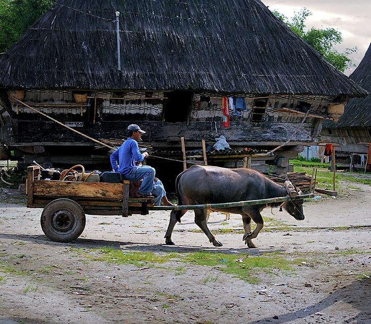 В деревнях изредка встречается флегматичный говяжий транспорт. Вот эта повозка выполняет роль передвижной авторемонтной               мастерской и заправщика, словно в насмешку над обездвиженными машинами.