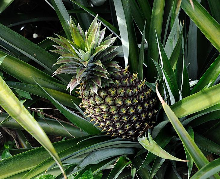 Как вы уже догадались, сие есть самый натуральный ананас. Достойный внимания наших прожорливых желудков продукт воровать с грядок не               пришлось, у обочины скучал мужик, торгующий этими ананасами. Удивительно, но вкус свежего ананаса разительно отличается не только от               содержимого компотов, но и от купленных в лавках самой Индонезии сырых плодов.