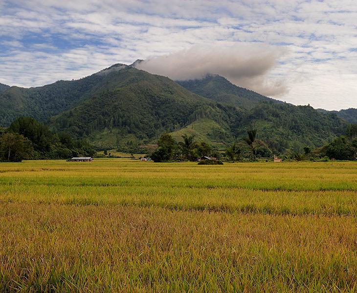 А это раскинулись сырые, чавкающие вечно жидкой черноземной грязью, рисовые поля. По объемам выращивания сего злака Индонезия               занимает третье место в мире (после Китая и Индии).