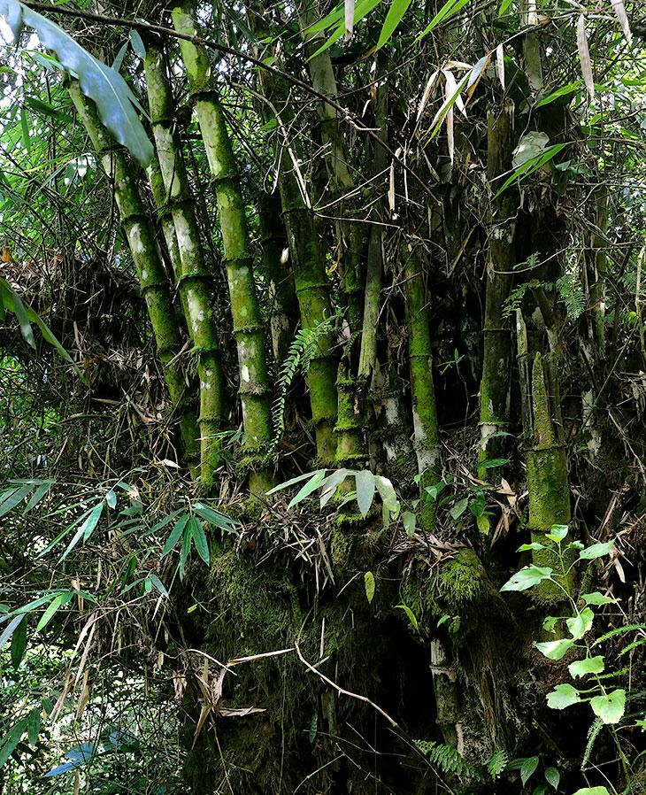 Уже привыкнув к мирному характеру суматранского леса, отсутствию настоящих колючек, прожорливых насекомых и подлых змей, я               совершенно расслабился, продираясь сквозь заросли в одежде из коротких шортов и потного рюкзака. Заметив по дороге красивый лопух               огромных размеров, я, конечно, полез сфотографироваться в обнимку с этой чудо-ботаникой, когда кустах что-то слегка обожгло мои голые               задние ноги.