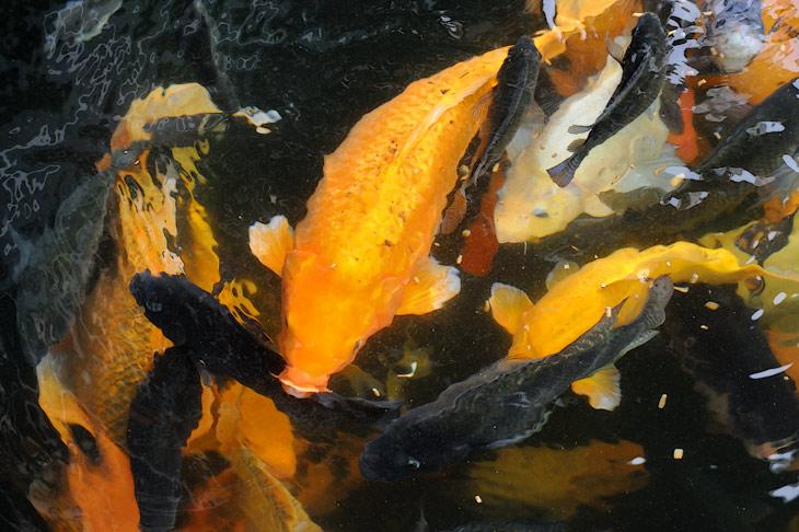 Сами рыбы веселенькой окраской больше напоминают декоративных карпов, нежели съедобные организмы.