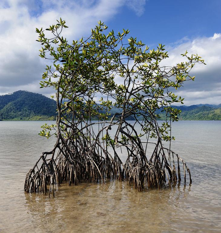 Приливная зона в устье впадающей рядом речки покрыта мангровыми зарослями. Растущие в морской воде мангры, фильтруют воду через               толстые, приподнимающие растение над водой, корни, получая чистую воду в условиях непригодных для жизни сухопутной флоры.               Поворачивающиеся торцом к палящему солнцу листья уменьшают испарение драгоценной пресной воды со своей поверхности.