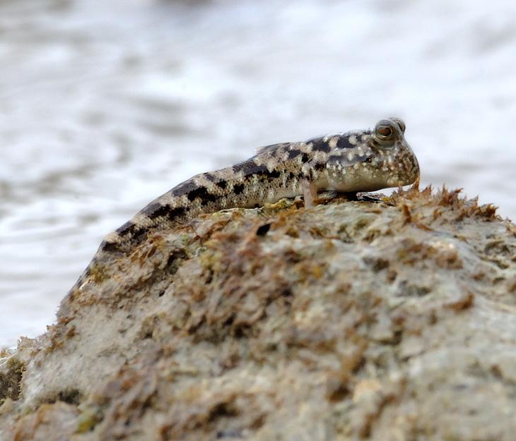 А на илистых берегах живут илистые прыгуны (Periophthalminae), к сожалению, мелкие и невзрачные на фоне своих собратьев               с Борнео. Но столь же сухопутные, таращащие жабьи глазенки с мокрых коряг и склизких камней. Все также в случае опасности вместо моря               они бегут прятаться в лес, карабкаясь по мангровым корням.
