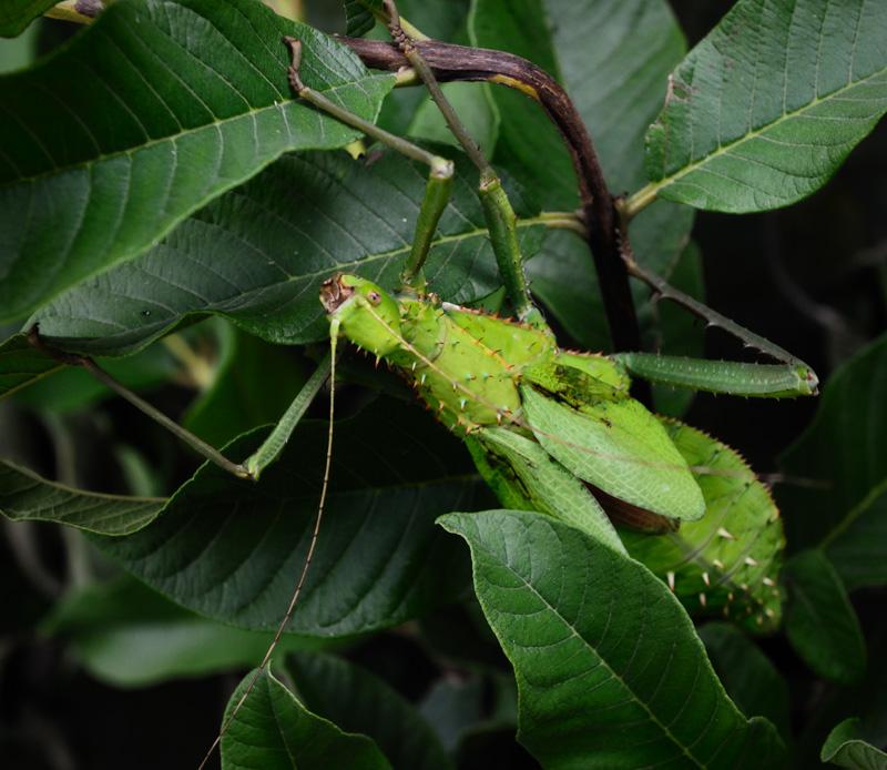 Те, у кого прикинуться листом получается плохо, злобно таращат колючие жучьи морды из темной листвы, в надежде, что редкий хищник позарится на такое небритое чудовище.