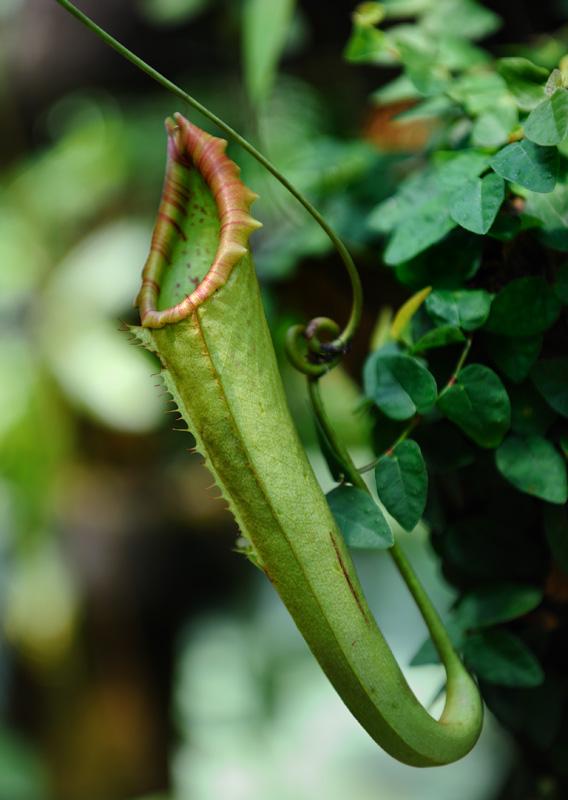 К местным достопримечательностям стоит отнести различные виды непентисов (Nepenthes) — хищных растений, имеющих специальные кувшины для ловли насекомых. Механизм действия понятен — привлеченное сладким нектаром               насекомое залетает внутрь прожорливого кувшина, крышка захлопывается, зеленый монстр пожирает несчастную жертву.