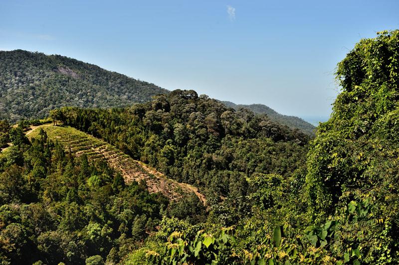 Средь хаоса растрепанной шевелюры джунглей то тут то там виднеются плешивые склоны культурных плантаций. Подойдем поближе и поинтересуемся, что же такое полезное выращивают местные фермеры.