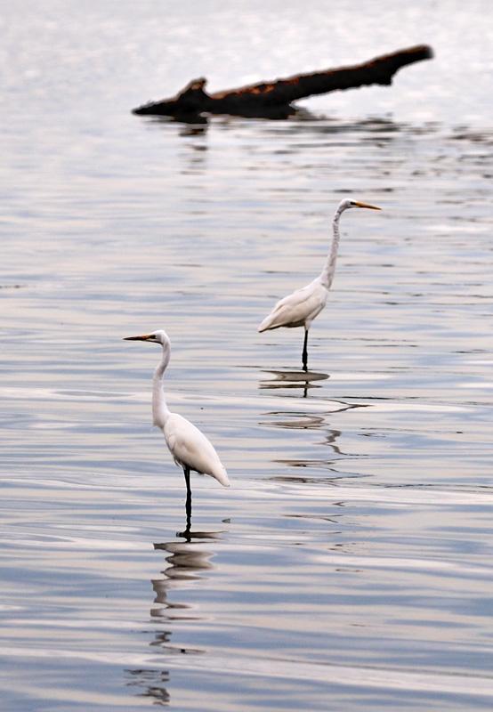 На цаплях же ничего не дымится. У них вечно мокрые ноги и длинный сопливый нос. Отливы оголяют обширные отмели вокруг острова, с задумчиво бродящими по ним птицами и редкой мангровой порослью.