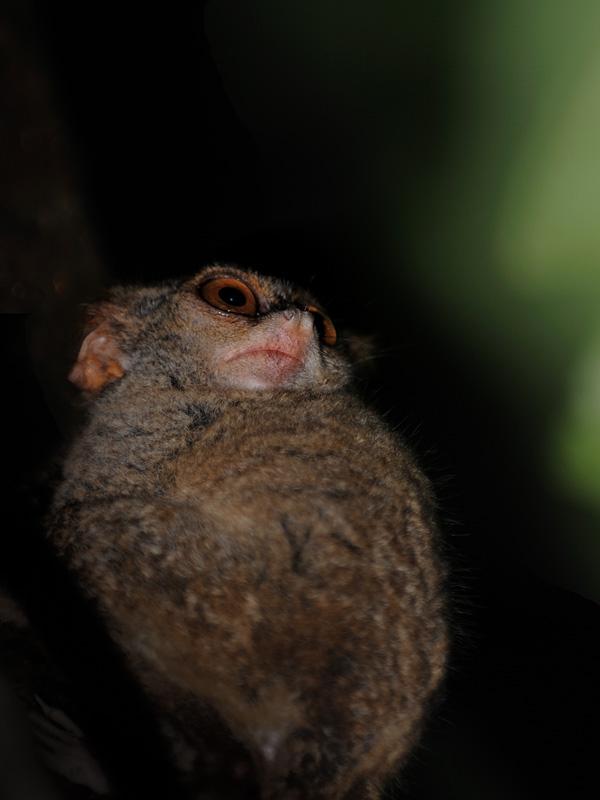 Что остается делать обезьяне в два раза меньшей, чем моя ладонь? Сидеть и бояться. Как бы какая прожорливая птица не решила поужинать столь мелкой добычей. Вот пока тарсиры выясняют окружающую обстановку насколько безопасно можно             удалиться от родного дерева, есть хорошая возможность рассмотреть их поближе.