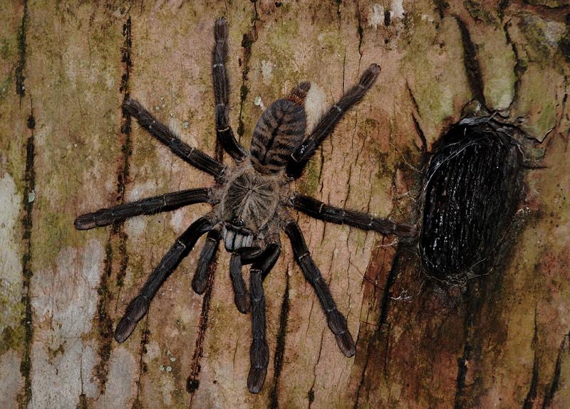 А такой вот веселый паучок Theraphosidae, размером с тарелку, не прочь закусить не только птицей, но и нашим дальним теплокровным родственничком. Обладая нордическим характером паук флегматично сидит у своего дупла, являясь             легкодоступной и малоподвижной достопримечательностью.