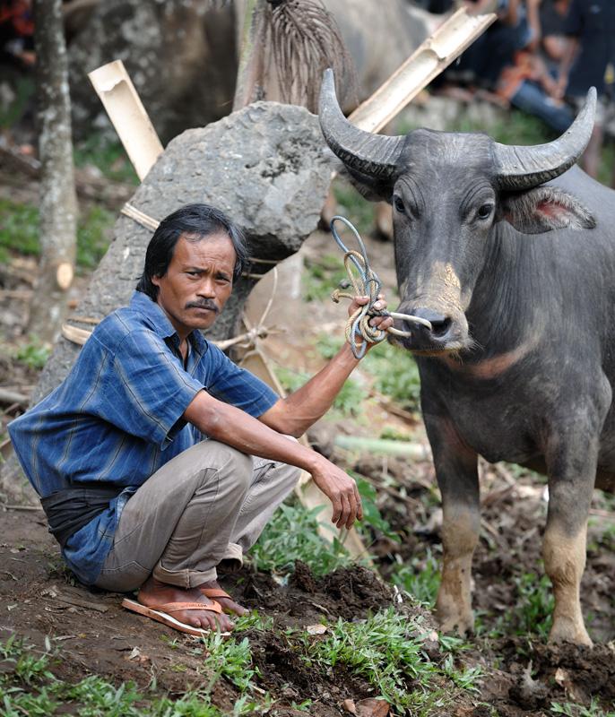Словом «бык», в данном случае, я называю азиатского буйвола (Bubalus bubalis), подразумевая пол, а не породу животного.