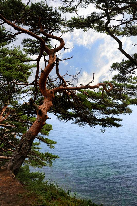 Усеянные причудливыми скалами и изрытые гротами берега полуострова поросли разновидностью Pinus densiflora по-русски ласково именуемой «могильной сосной».