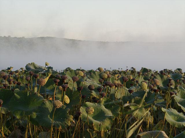 Постепенно туман над зарослями лотосов рассеялся.