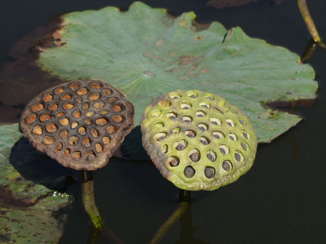 Это семена лотосов. Ну или та фигня, которая остается после цветов.