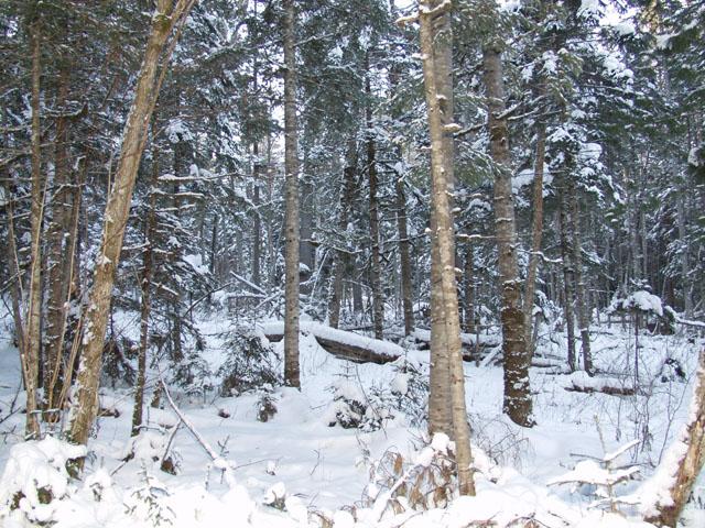 Вот такая местность. Как хороши елки, когда на них нет елочных игрушек. А на снегу следы лишь ретивых зайцев и прочих оленей.