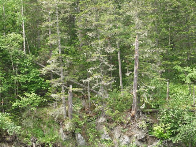 Самаргинские елки. Именно на них и покушаются лесорубы, пытаясь прикончить и эту реку.