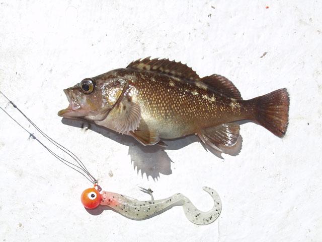 Собственно объект рыбалки. С первого же заброса, на смердящую резину, выудили вот такого ершового детеныша.