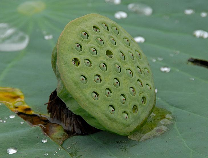 Созрели лотосы. Семена аккуратно упакованы в зеленую гофротару. Такой вот жабский подсолнух.