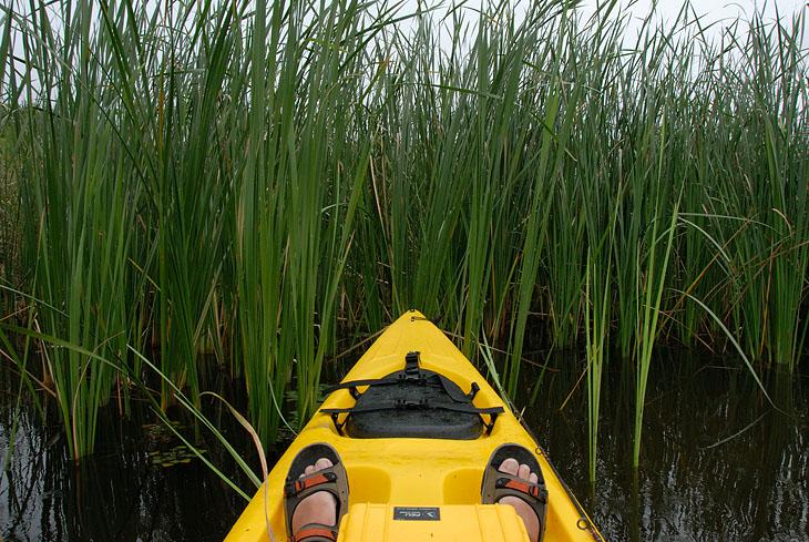 Я же взгромоздившись на каяк отправился изучать болотные заросли.